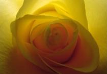 Backlit Yellow Rose Closeup