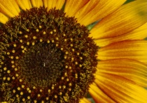 sunflower_small.tif