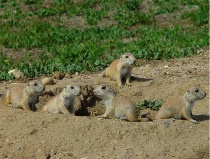 Prairie Dog Population Boom