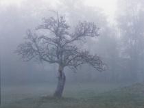 Misty Apple Tree