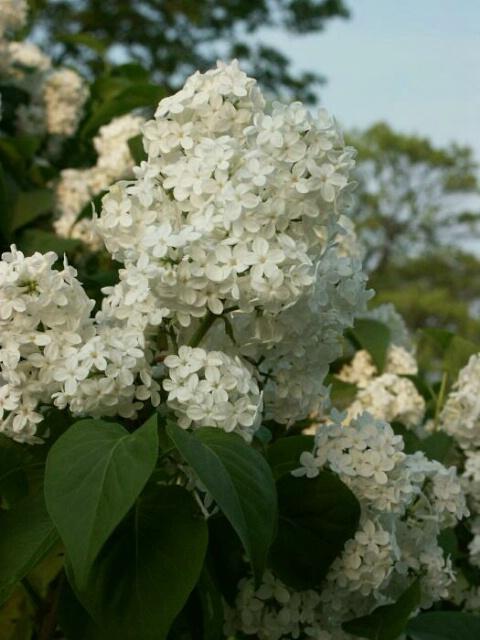 White Lilacs 2