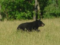 Black Bear on the Run