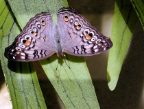 Malaysian Butterfly