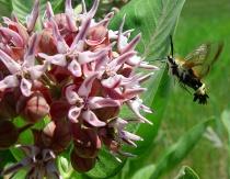 Hummingbird Moth On Milkweed