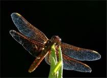 Backlit dragonfly.