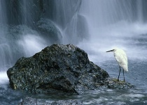 Snowy Egret and Falls