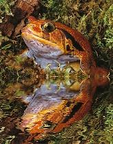 Tomato Frog Reflection