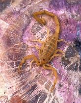 Bark Scorpion on Petrified Wood