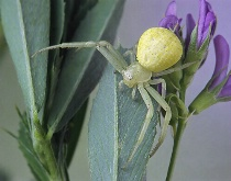 Crab Spider on Alfalfa