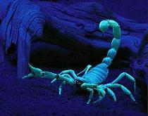 Desert Hairy Scorpion under Blacklight