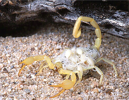 Sand Scorpion Carrying Young