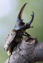 Grant's Rhinoceros Beetle Profile, Payson