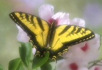 Soft Focus Tiger Swallowtail