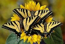 Tiger Swallowtail Trio