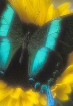 Velvet Swallowtail