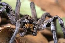 Wolf Spider Closeup, Pine