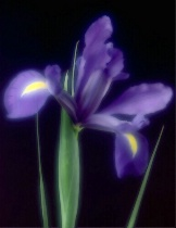 Iris Glow