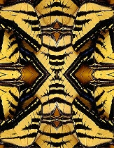 Tiger Swallowtail Wing Patterns