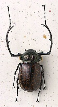 Long-Armed Chafer