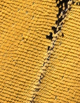 Western Tiger Swallowtail Scales