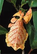 Walking Leaf - Orange Form