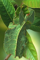 Walking Leaf - Green Form