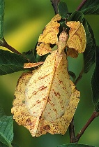 Walking Leaf - Yellow Form
