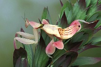 Orchid Mantid Profile