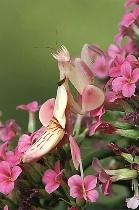 Orchid Mantid