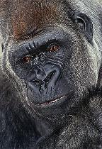 Portrait of Lowland Gorilla