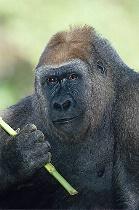 Lowland Gorilla Portrait