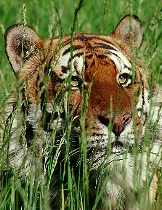 Male Bengal in Grass
