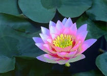 Water Lily Fantasy