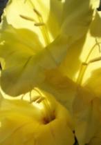 Yellow Glads