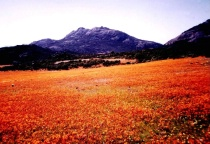 Namaqualand in bloom.