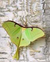 Photography Contest Grand Prize Winner - September 2002: American Moon Moth