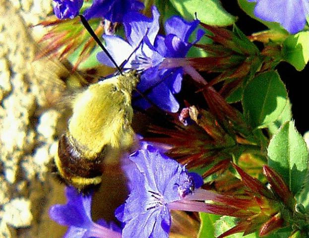 example2 Hummingbird moth