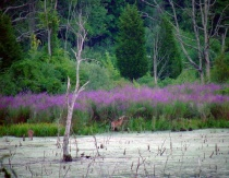 beaver pond in july