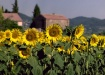 Sunflowers and Sh...