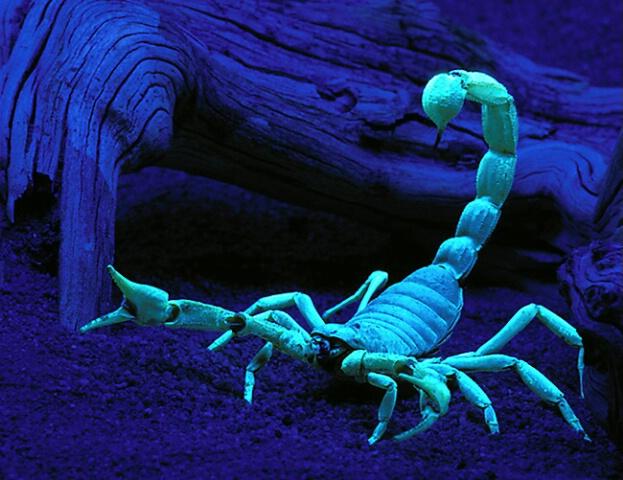 Scorpion under Blacklight