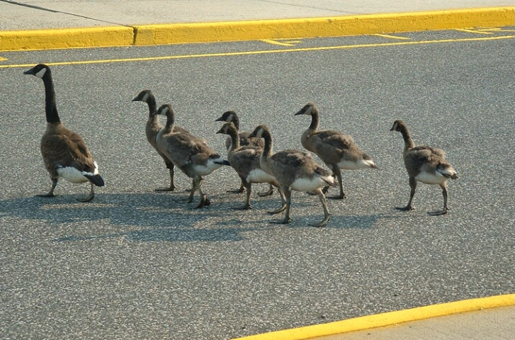 Mother Goose and Her 7 Adolescents