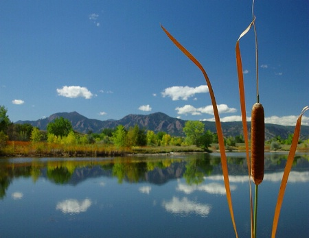 Cattail With A View