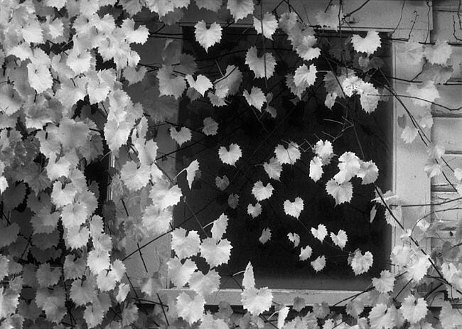 Vine on Window