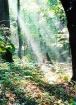 Light Through Tre...