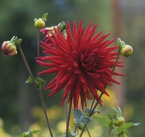 One Last Red Flower of Autumn