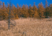 The Tamarack Trees