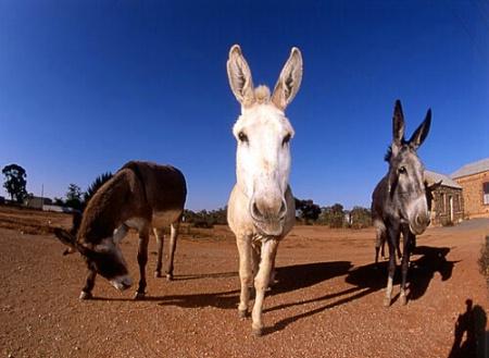 Surreal donkey(s)?