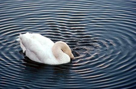 ripples created as swan eats