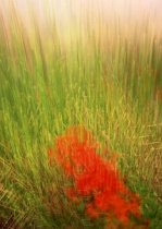 poppies in a field of grasses