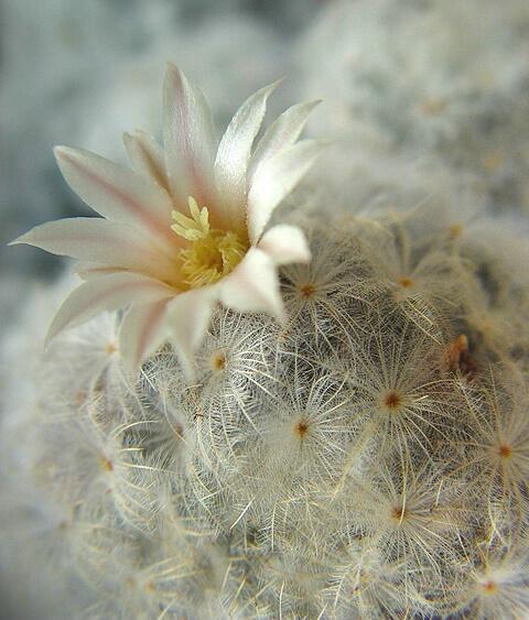 feather cactus